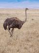 Ostrich-female-Ngorongoro-ZO7L1185-.jpg