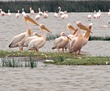 Pelican group Lake Elementia.jpg