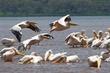 Pelicans-in-flight Lake Nakuru.jpg