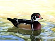 Wood duck male W17.jpg