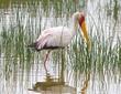 Yellowbill stork Lake Elementia.jpg
