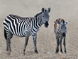 Z14-Adult-and-young-zebra--1308.jpg