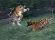 Z26-Amur-tiger-cubs-playing.jpg