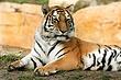 ZO3 Amur Tiger.jpg