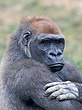 ZO4 Gorilla portrait.jpg