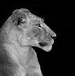 lioness-alertedblackwhitesquare-copy.jpg