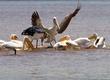 pelican-fighting for a fish Lake Nakuru.jpg