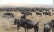 wildebeests and zebra in field.jpg