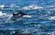 Dolphin-jumping-002.jpg