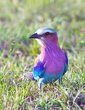 Lilac-Breasted-Roller465.jpg