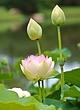 Lotus bloom 2 (North American species).jpg