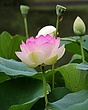 Lotus closeup with bloom (North American species).jpg