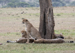 1 Cheetah Brothers Coalition is resting.jpg