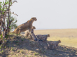 1 Cheetah-Family.jpg