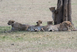 2 Cheetah brothers are all looking different directions.jpg