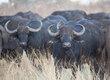Angry-Cape-Buffalos IMG_0342.jpg