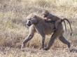 Baboon Baby On Moms Back1176.jpg