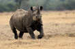Black Rhino Charging-color version.jpg