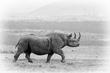Black Rhino Strutting BW.jpg