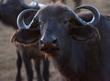Cape Buffalo Female -closeup-1187.jpg