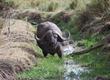 Cape Buffalo in Stream.jpg