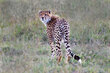Cheetah Looking Back CN4F2047.jpg
