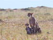Cheetah Sitting Up With Cub.jpg
