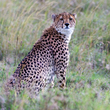 Cheetah Sitting in Grass.jpg