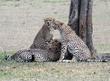 Cheetah brothers resting-View 2.jpg