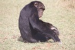 Chimpanzee 164A1705.jpg