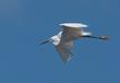 Egret-in-flight 259A9735-.jpg