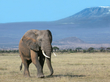 Elephant Bull With Mt Kilimanjaro in Background -color version.jpg