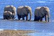 Elephants Walking In Chobe.jpg