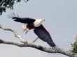 Fish Eagle Taking Flight-crop.jpg