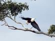 Fish-Eagle Taking Flight crop.jpg