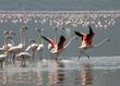 Flamingos Taking Flight.jpg