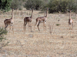 Gerenuk Females.jpg
