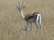 Grants-Gazelle and Newborn 164A3301.jpg