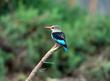 Grey Headed Kingfisher.jpg