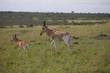 Hartebeest Mother and Young IMG_5171.jpg