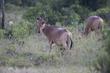 Hartebeest male CN4F1918.jpg