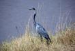 Heron 164A4124.jpg