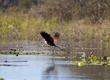 Jacana Bird In The Delta.jpg