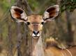 Kudu Female close-up 259A8764(1).jpg