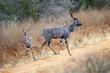 Kudu and Young CN4F3622.jpg