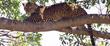 Leopard Laying On Branch.jpg