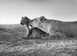 Lioness Grooming Newborn - BW version.jpg