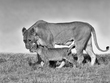 Lioness Walking With Cub -BW version.jpg