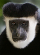 M1 Colubus Monkey face.jpg