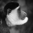 M3-Colubus Monkey side view square IMG_5883.jpg